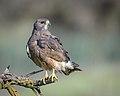 Swainson's Hawk (Dark Morph).jpg