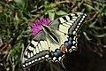 Swallowtail - Papilio machaon (20151730838).jpg
