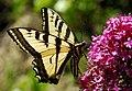 Swallowtail 05 06 07.jpg