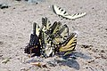 Swallowtail Group IMGP6353.jpg