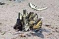 Swallowtail Group IMGP6353.jpg