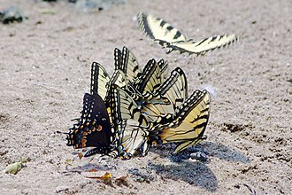 Papilio glaucus - Group of male eastern tiger swallowtails puddling, including a male spicebush swallowtail