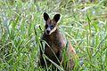 Swamp Wallaby - Flickr - GregTheBusker.jpg