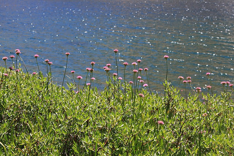 File:Swamp onion Allium validum at lakeshore.jpg