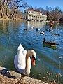 Swan in the lake.jpg