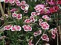 Sweet William from Lalbagh flower show Aug 2013 8213.JPG