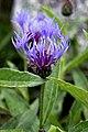 Switzerland-01778 -Meadow Flower (22272352796).jpg