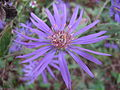 Symphyotrichum georgianum, Georgia aster, later bloom.JPG