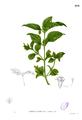 Synedrella nodiflora Blanco2.404.png