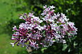 Syringa microphylla 'Superba' flowers at Hulda Klager Lilac Gardens.jpg