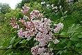 Syringa tomentella subsp. sweginzowii kz03.jpg