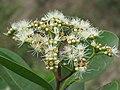 Syzygium caryophyllatum - South Indian Plum at Mayyil (1).jpg