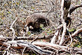 Tachyglossus aculeatus (Short-beaked Echidna), Moora Track, Grampians National Park, Victoria Australia (5044246708).jpg