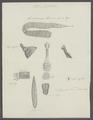Taenia lanceolata - - Print - Iconographia Zoologica - Special Collections University of Amsterdam - UBAINV0274 105 19 0032A.tif