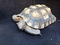 Tagged desert tortoise (16760729560).jpg