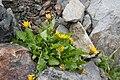Taraxacum alpicola var. shiroumense 02.jpg