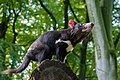 Tasmanian Devil (24170311598).jpg