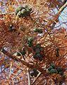 Taxodium distichum cones J2.jpg