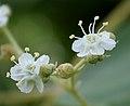 Teak (Tectona grandis) flowers in Anantgiri, AP W2 IMG 8807.jpg
