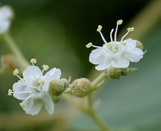 Teak - Flowers at Ananthagiri Hills, in Rangareddy district of Telangana, India.