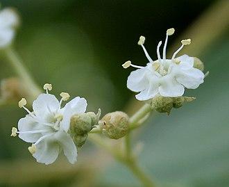 Teak - Flowers at Ananthagiri Hills, in Rangareddy district of Telangana, India.