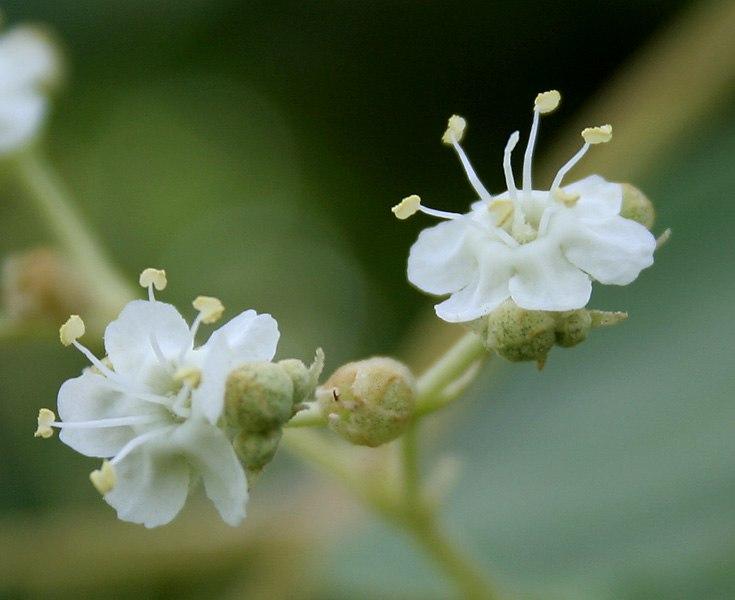 Teak (Tectona grandis) flowers in Anantgiri, AP W2 IMG 8807