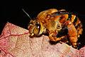 Teddy Bear Bee (2354272190).jpg