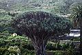 Tenerife - Drago de Icod de los Vinos 02.jpg