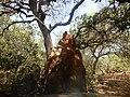 Termiteira, Picada da Praia de Ofir, Bolama, Guiné-Bissau – 2018-03-03 – DSCN1260.jpg