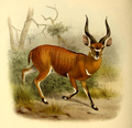 The book of antelopes (1894) Tragelaphus euryceros.png
