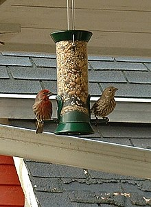 The housefinches.jpg