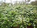 The season flower's coffee robusta.jpg
