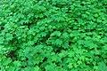 Thimbleberry Textures (3629325115).jpg