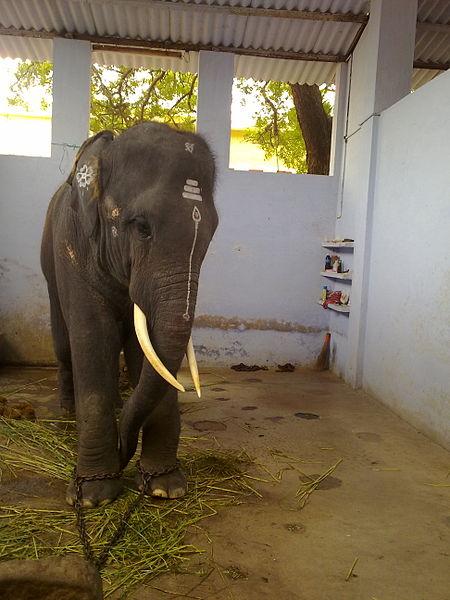 படிமம்:Thiruchenthur Teample Elephant.jpg