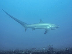 Threshershark.jpg