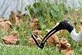Threskiornis molucca -Sydney, New South Wales, Australia -head-8.jpg