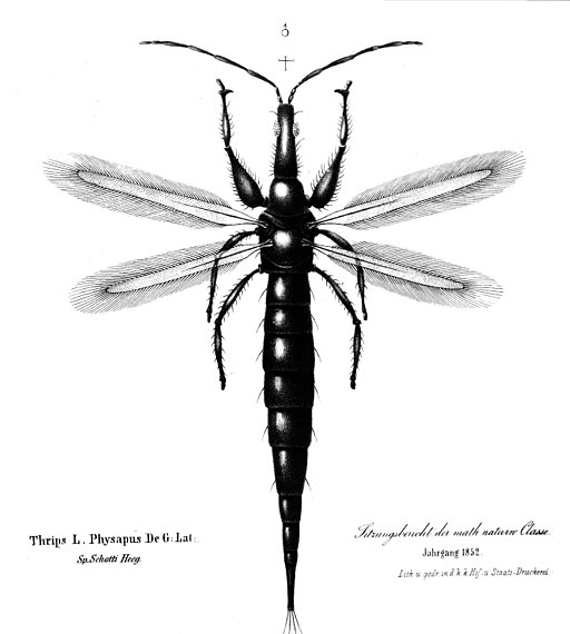 Thrips physapus