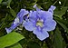 Thunbergia grandiflora (70184).jpg