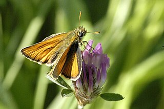 <i>Thymelicus</i> Palearctic genus in the skipper butterfly family