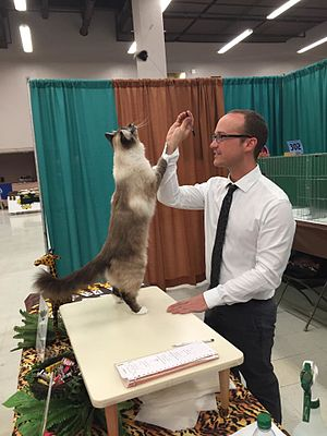 The International Cat Association - A TICA judge evaluates a 2-year-old Birman Alter at a show in Albuquerque, NM
