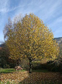 15 Year Old Lime Tree Haute Savoie France