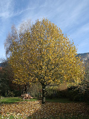 Tilia cordata - 15-year-old lime-tree, Haute-Savoie, France
