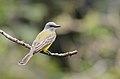 Tirano Tropical, Tropical Kingbird, Tyrannus melancholicus (11915603136).jpg