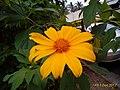Tithonia diversifolia flower in south india.jpg