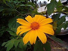 Tithonia diversifolia flower in south india.jpg