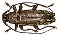 Tmesisternus fergussoni Breuning, 1870 (3188608140).jpg