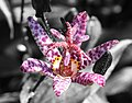 Toad Lily alt (3743675057).jpg