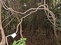 Trachelospermum asiaticum - Miyajima Natural Botanical Garden - DSC02406.JPG