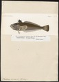 Trachinus vipera - 1700-1880 - Print - Iconographia Zoologica - Special Collections University of Amsterdam - UBA01 IZ13200045.tif