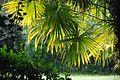 TrachycarpusFortunei ULB2.jpg